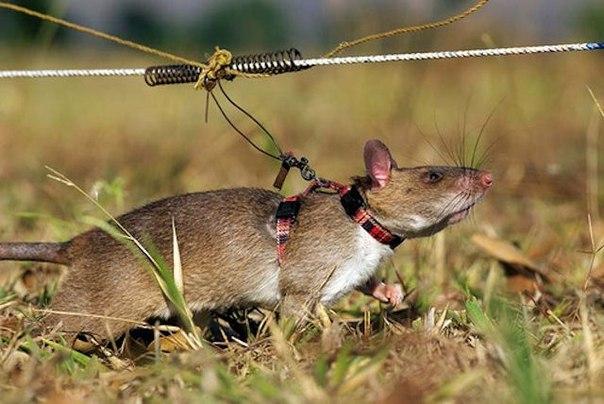 Взрывающаяся крыса (англ. explosive rat)
